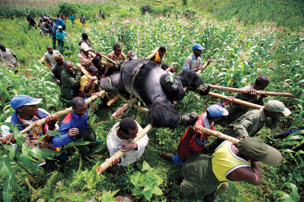 time 100 influential photos brent stirton gorilla congo 96