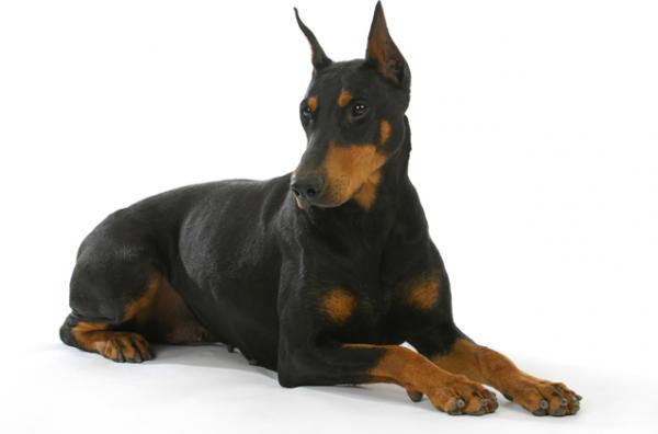 best watch dogs doberman pinscher