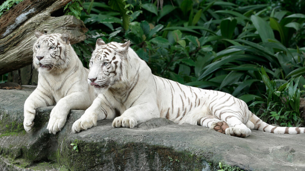 origins of the white tiger