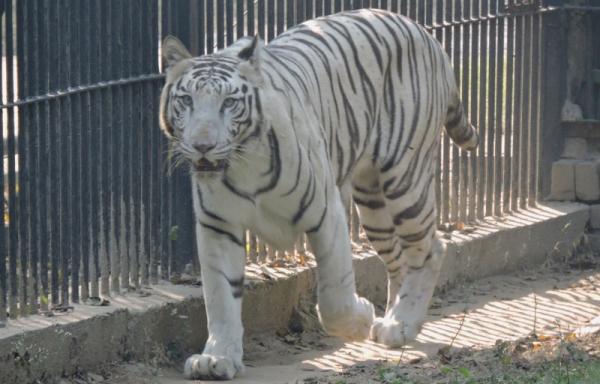 white tiger vijay delhi zoo