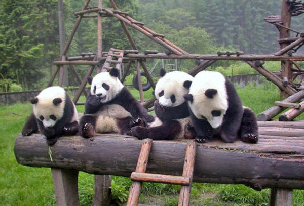 chengdu pandas f