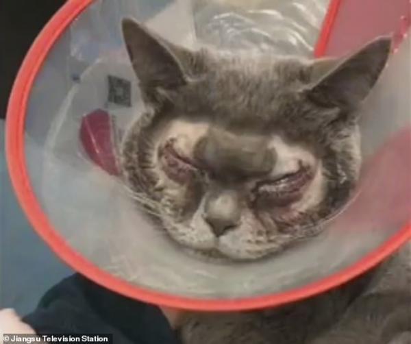 Phẫn nộ trước cảnh người chủ độc ác đưa mèo đi phẫu thuật mắt hai mí vì nghĩ 'nó quá xấu xí'