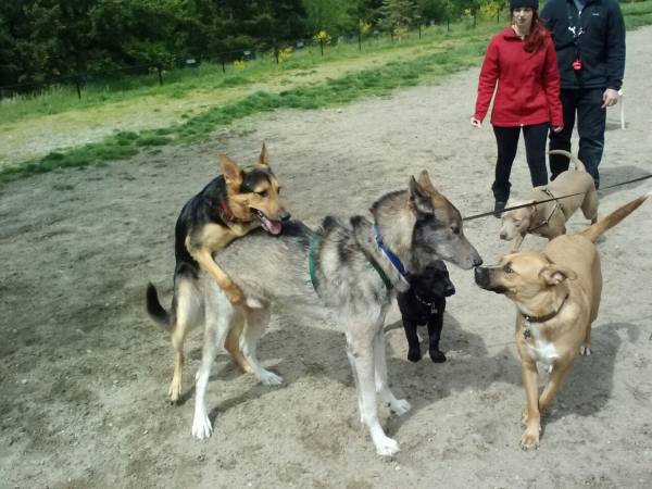 Chị gái nóng tính gọi cảnh sát khi chó nhà mình bị chó lạ 'ấy ấy' ở công viên