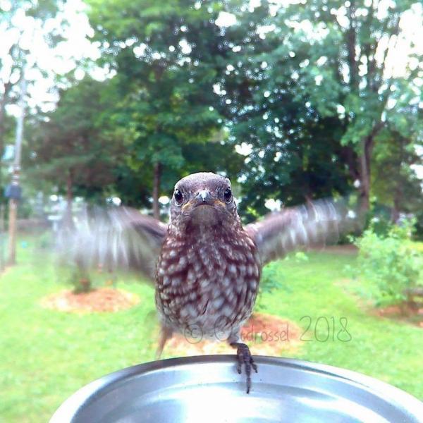 Đặt máy ảnh sau sân nhà, cô gái nhận được cả đống ảnh chim chóc hài hước