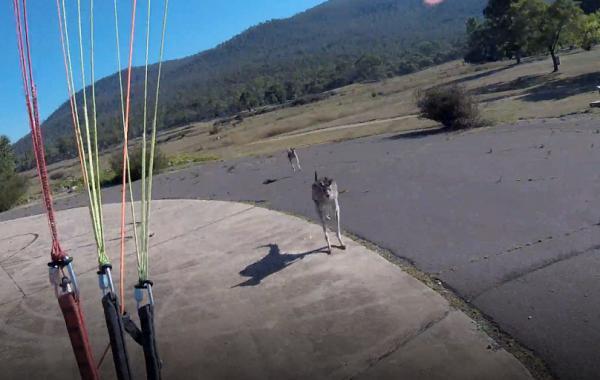 Kangaroo 'cục súc' xông đến đấm vào mặt phi công dù lượn vừa đáp xuống đất