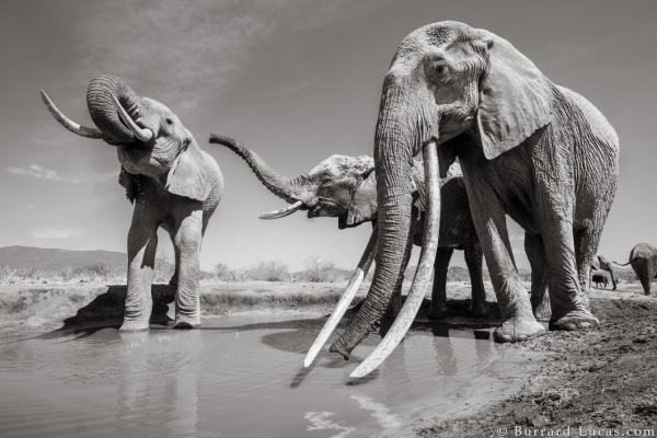 Những hình ảnh cuối cùng của 'Nữ hoàng voi' có ngà dài chạm đất cực kỳ quý hiếm