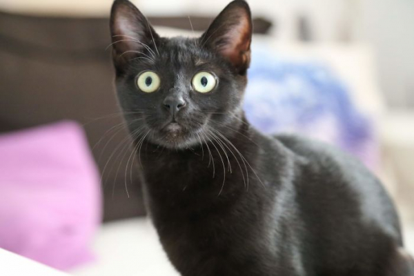 we fought one year to save our adopted black kitten shuri 5c7cf8f2e14c2 700