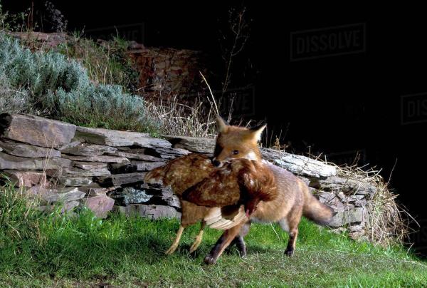 Chán cảnh bị ăn thịt, 3.000 con gà vùng lên, 'xử hội đồng' mổ chết một con cáo
