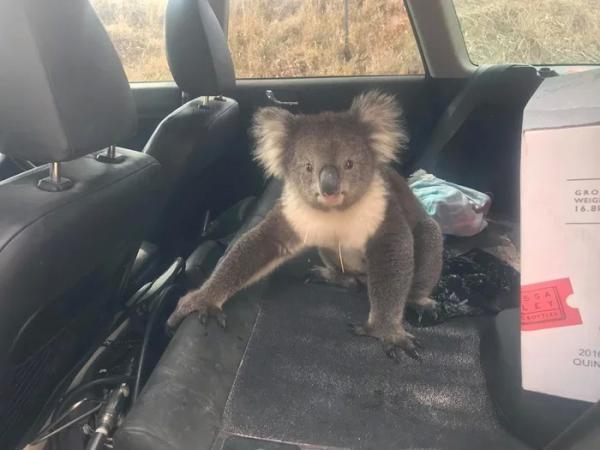 Trời nắng nóng, Koala 'cục súc' xông vào xe hơi người lạ để hưởng tí máy lạnh