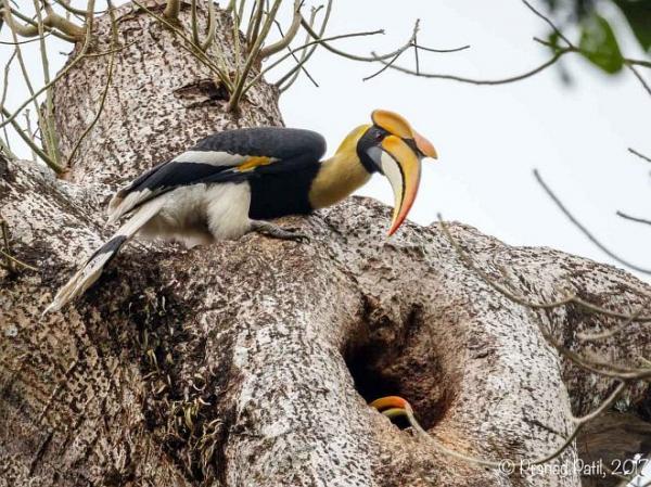 great horlbill nesting 1