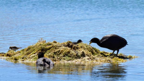 horned coot nest