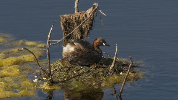 little grebe nest