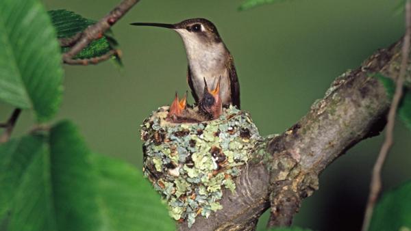 ruby throated hummingbird nest 1