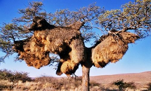 sociable weaver nest 1