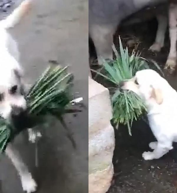 Vừa buồn cười vừa cảm động hình ảnh chú chó tha cỏ cho trâu ăn