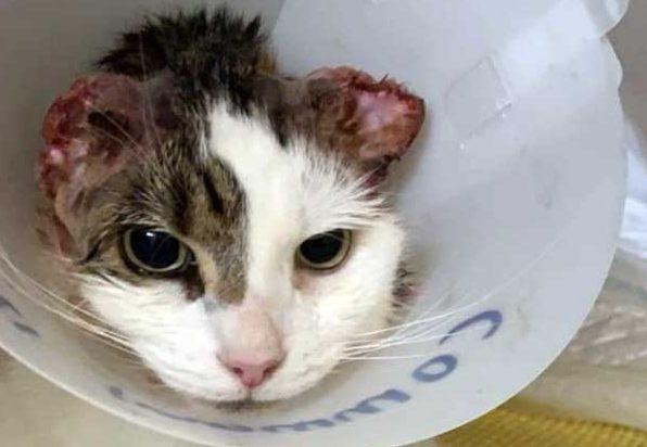 Truy lùng tên biến thái cắt hai tai mèo ở Anh