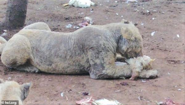 Số phận thảm thương của những động vật hoang dã đằng sau 'ngành công nghiệp sư tử' tại Nam Phi