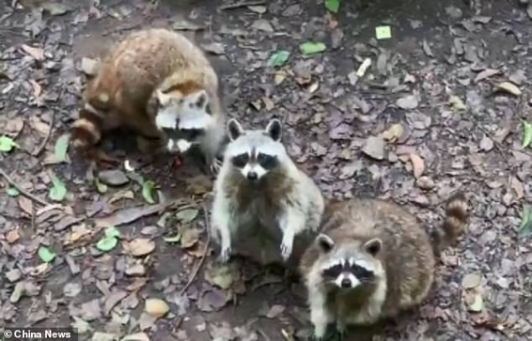 13192630 7001159 footage released by china news show several portly raccoons dist a 18 1557226036567