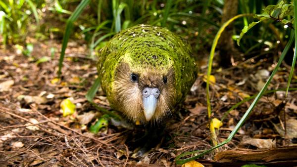 Vẹt Kakapo cực kỳ quý hiếm trở thành chú chim được phẫu thuật não đầu tiên trên thế giới