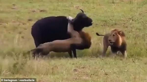 Đau lòng cảnh tượng trâu mẹ đưa thân làm mồi cho sư tử để con được sống