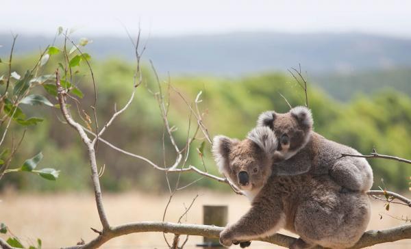 Gấu Koala chính thức bị tuyên bố đã 'tuyệt chủng về chức năng' khiến cả thế giới bàng hoàng