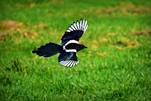 Tìm thấy một con chim ác là bạch tạng siêu hiếm gặp với tỷ lệ chỉ 1/1.000.000 tại Úc