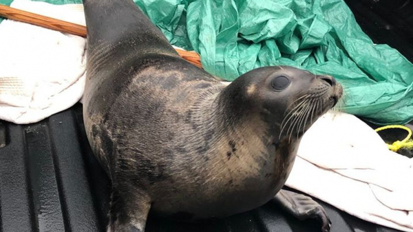 Con hải cẩu chết ngạt trong đống rác nặng 35kg được cho là hình ảnh thương tâm nhất từ trước tới giờ