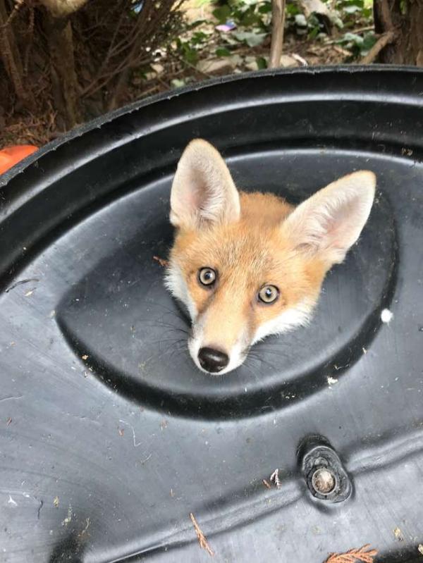 Chú cáo nhỏ được 'giải cứu' khi đang mắc kẹt trong thùng rác