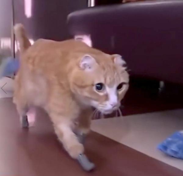 Chú mèo đầu tiên trên thế giới có 4 chân đặc biệt làm bằng titan