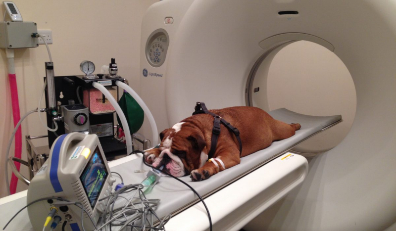 ct scan for bulldog 1200x700