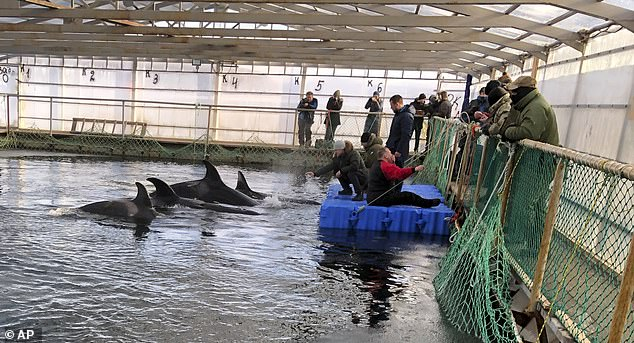 Leonardo DiCaprio gây áp lực buộc chính phủ Nga giải cứu 100 cá voi sát thủ và beluga
