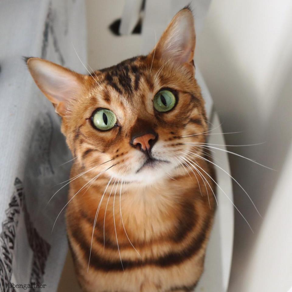 Là giống mèo Bengal, Thor sở hữu bộ lông vằn như loài hổ, thêm vào đó là đôi mắt lạnh lùng, đẹp trai không thua gì thần Thor trên phim đâu nhé.