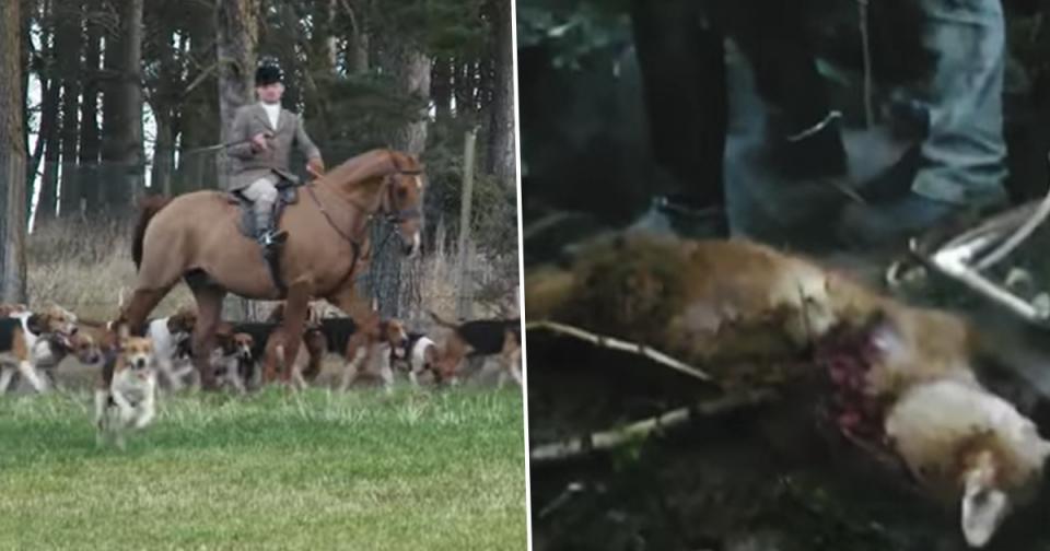 Thực tế tàn bạo về nạn săn bắn cáo hoang dã vẫn tồn tại ở Anh