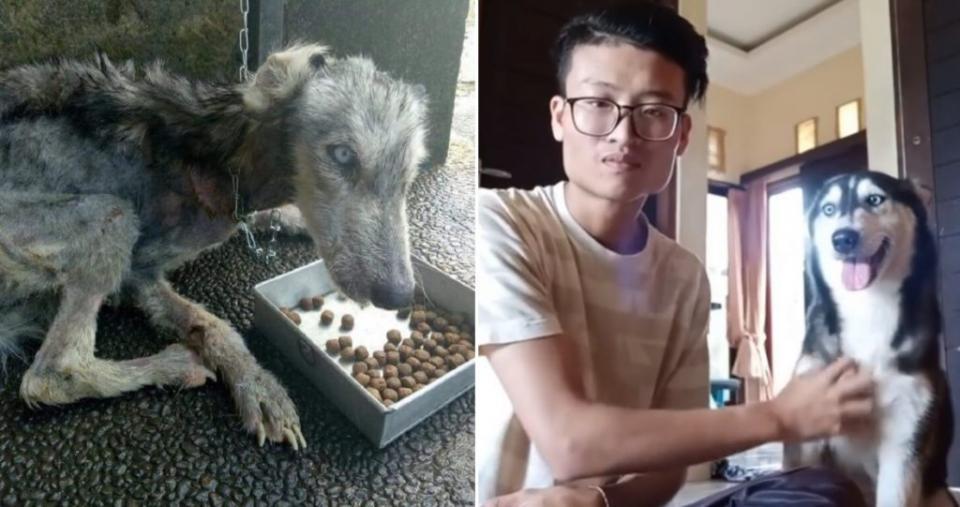 Chó Husky bị bỏ đói đến chỉ còn da bọc xương đã tìm được tổ ấm mới