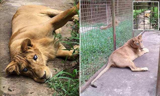 Vườn thú bỏ mặc sư tử mù trong chiếc lồng nhỏ xíu, bẩn thỉu