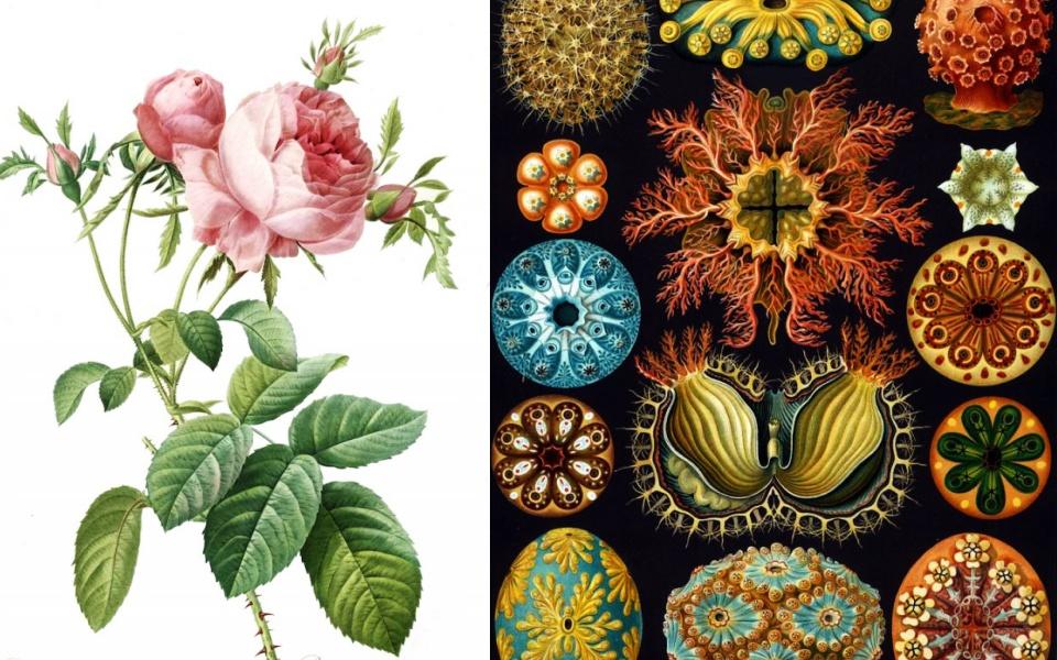 Ngắm không chán mắt những bản vẽ tay minh họa thực vật đẹp mê ly cách đây 300 năm