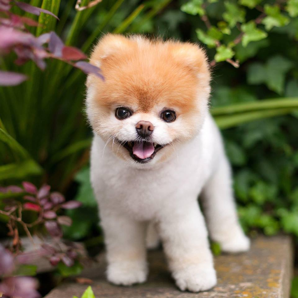 Hỉnh ảnh của chú chó Boo khi còn sống