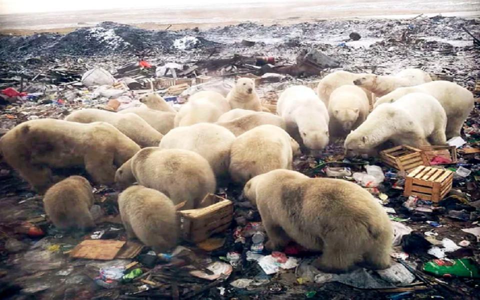 Cuộc 'xâm lược' của hơn năm mươi con gấu trắng tại một quần đảo nước Nga