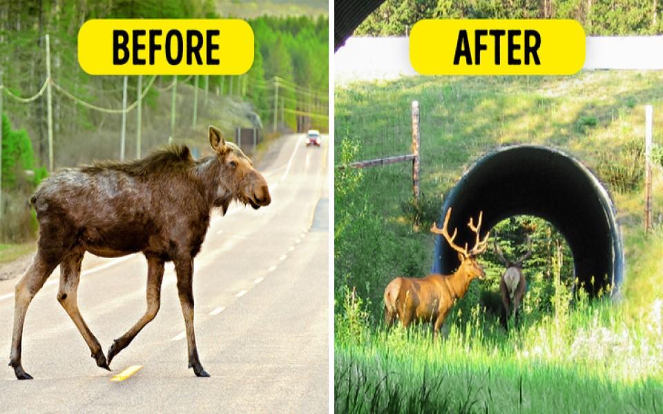 Nhiều nước đang làm cầu vượt thiên nhiên dành cho động vật hoang dã qua đường