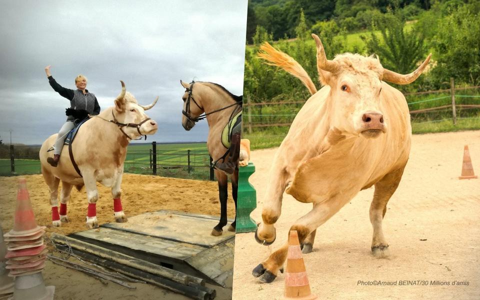 Chú bò hơn 1,3 tấn cứ nghĩ mình là... ngựa và còn thích nhảy vượt rào như ngựa