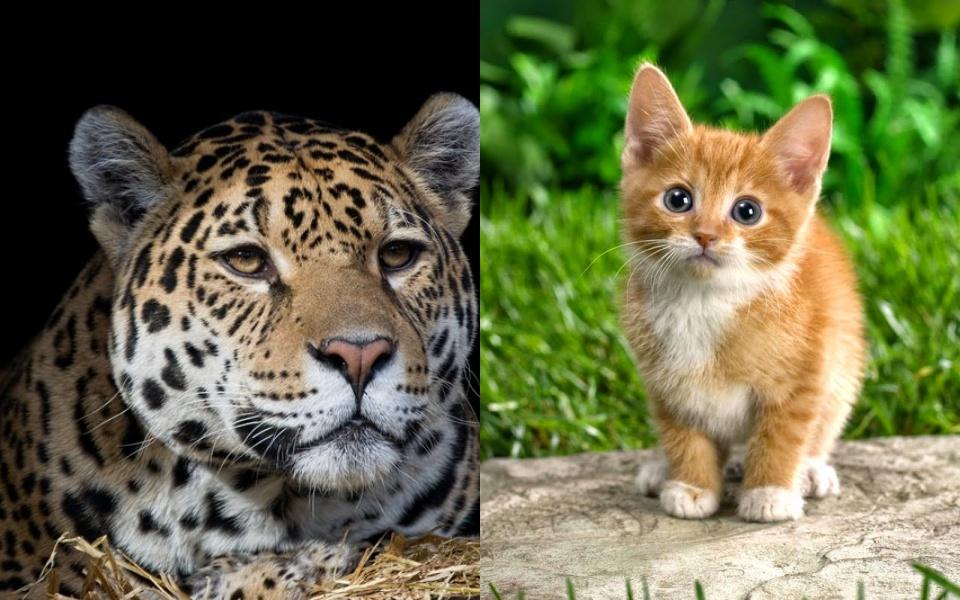 Bạn có biết: Báo cũng chỉ có thể kêu meo meo như mèo nhà?
