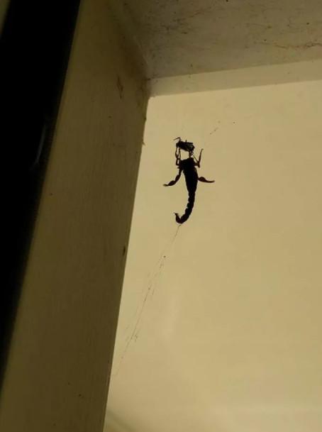 'Ác mộng' cho người sợ nhện: Loạt hình nhện xơi tái con mồi lớn hơn gấp nhiều lần