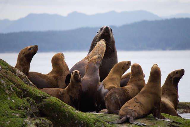 Chính phủ Mỹ ra lệnh giết hàng trăm gia đình sư tử biển gây tranh cãi dữ dội
