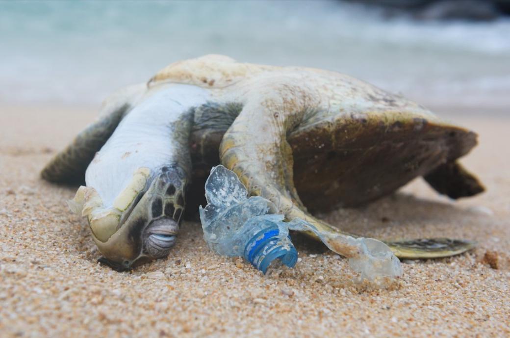 Tuổi thọ của loài rùa bị rút ngắn vì rác thải đại dương