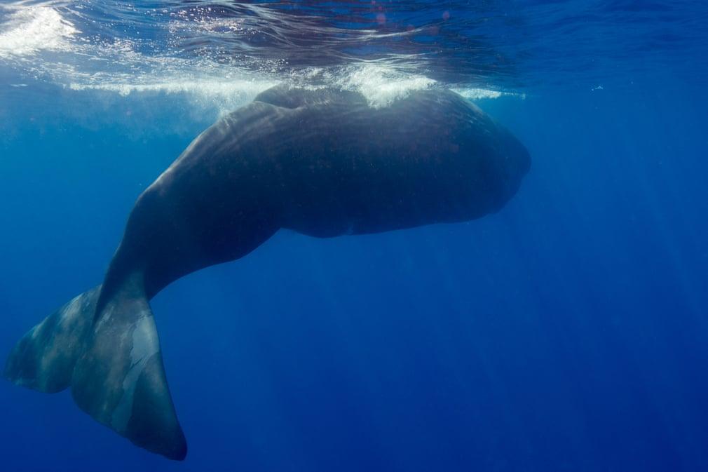 Cá voi sát thủ đại chiến cá nhà táng, nổi giận khi phát hiện con người can thiệp