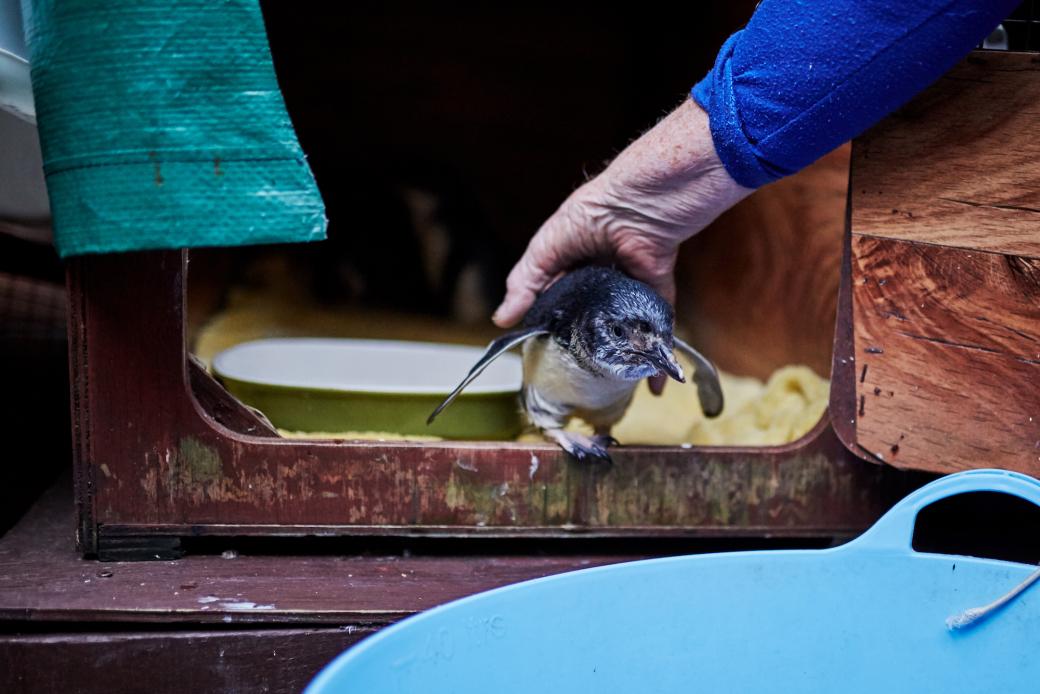 Cổ tích giữa đời thường: Bà cụ 85 tuổi hằng ngày dạy bơi cho những chú chim cánh cụt bị thương