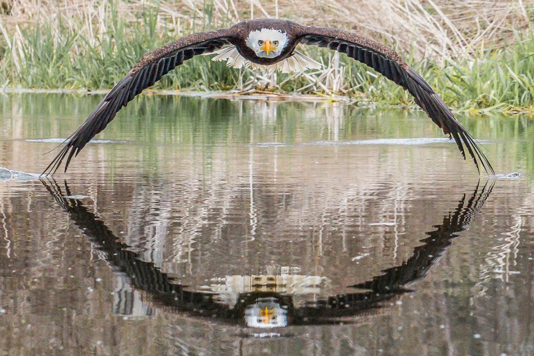 Đại bàng nhìn thẳng vào ống kính - Khoảnh khắc mà nhiếp ảnh gia dành trọn may mắn cả đời mới gặp được