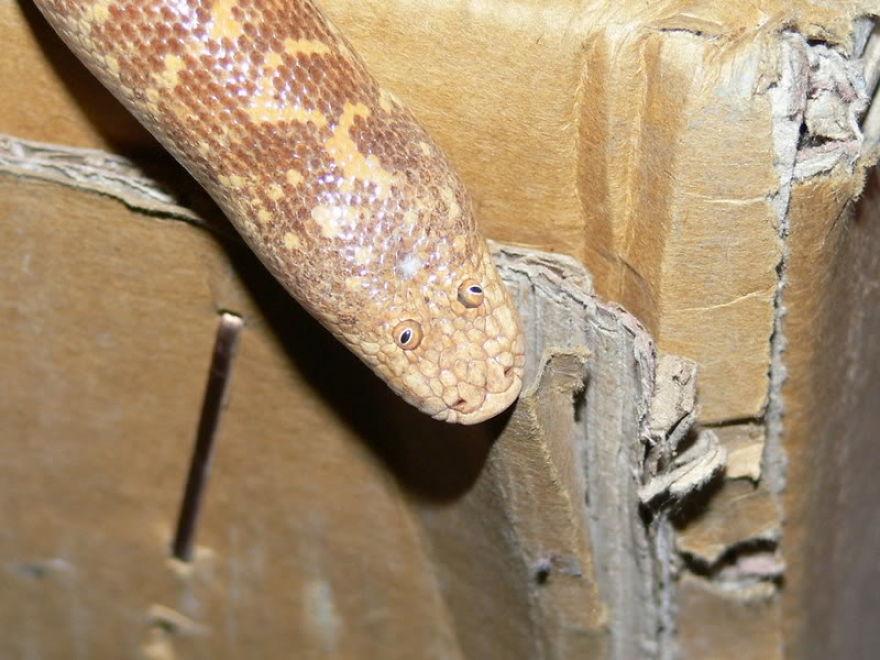 Những sự thật thú vị về loài rắn có gương mặt ngáo ngơ, hề hước nhất thế giới