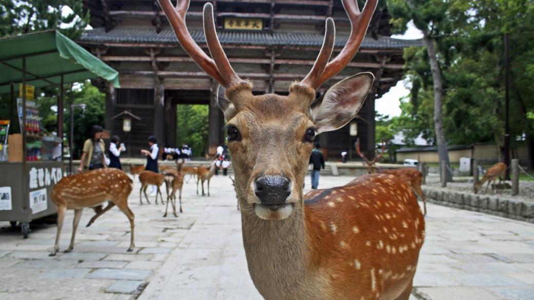 Hươu Nara quý chết trong tình trạng gầy trơ xương vì ăn phải rác thải nhựa từ khách du lịch
