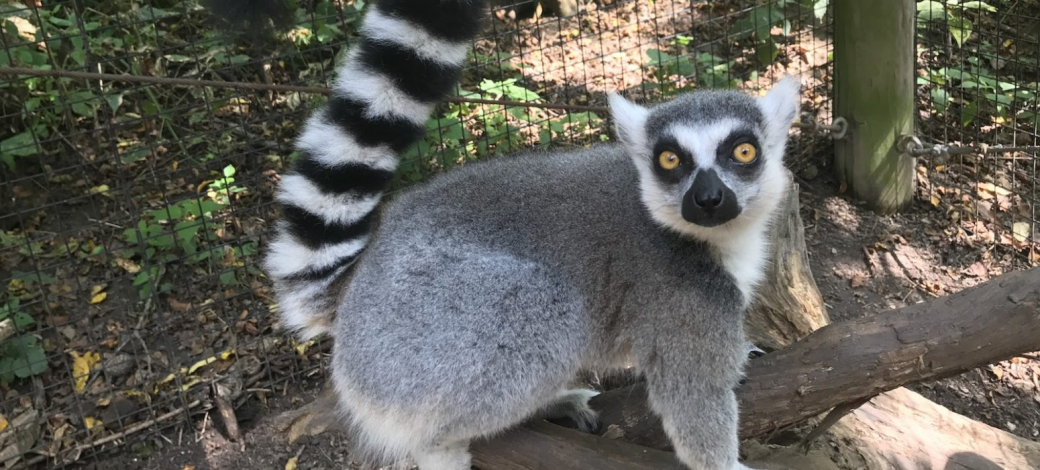 Thích sở hữu vượn cáo làm thú cưng, thiếu niên táo bạo trộm luôn một em trong sở thú mang về
